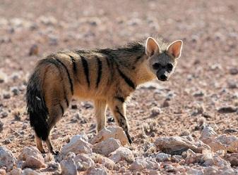 Земляной волк в Масаи-Мара