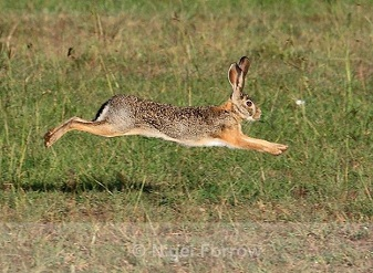 Африканские зайцы в Масаи-Мара