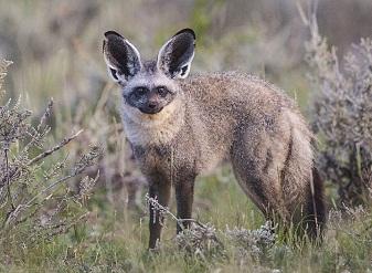Летучая мышь ушастая лисица в масаи-мара