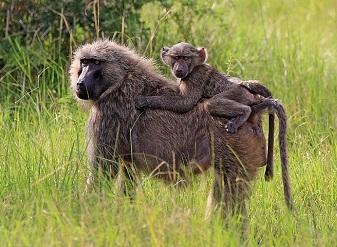 Оливковые бабуины в Масаи-Мара