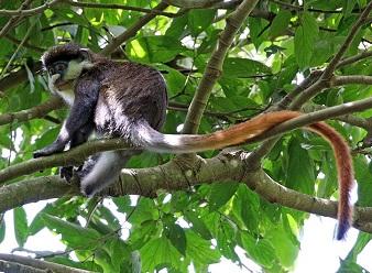 Краснохвостые обезьяны в Масаи-Мара