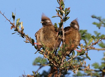 Speckled Mousebirds in Masai Mara