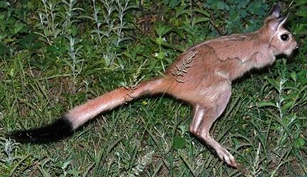Весенний заяц в Масаи-Мара